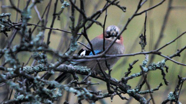 Närhien vaelluksista tiedetään lopultakin melko vähän johtuen lintujen alhaisesta rengastusmäärästä.