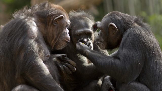 Tutkimus: Simpanssi valitsee ystävänsä tarkemmin vanhetessaan