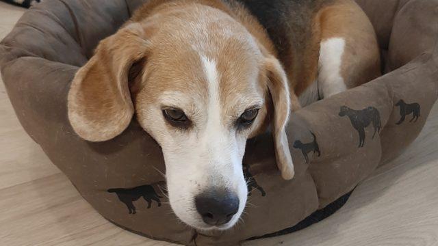 Jutta-beagle on entinen koe-eläin. Nyt se viettää jo eläkepäiviään kunnioitetavassa 14 vuoden iässä.